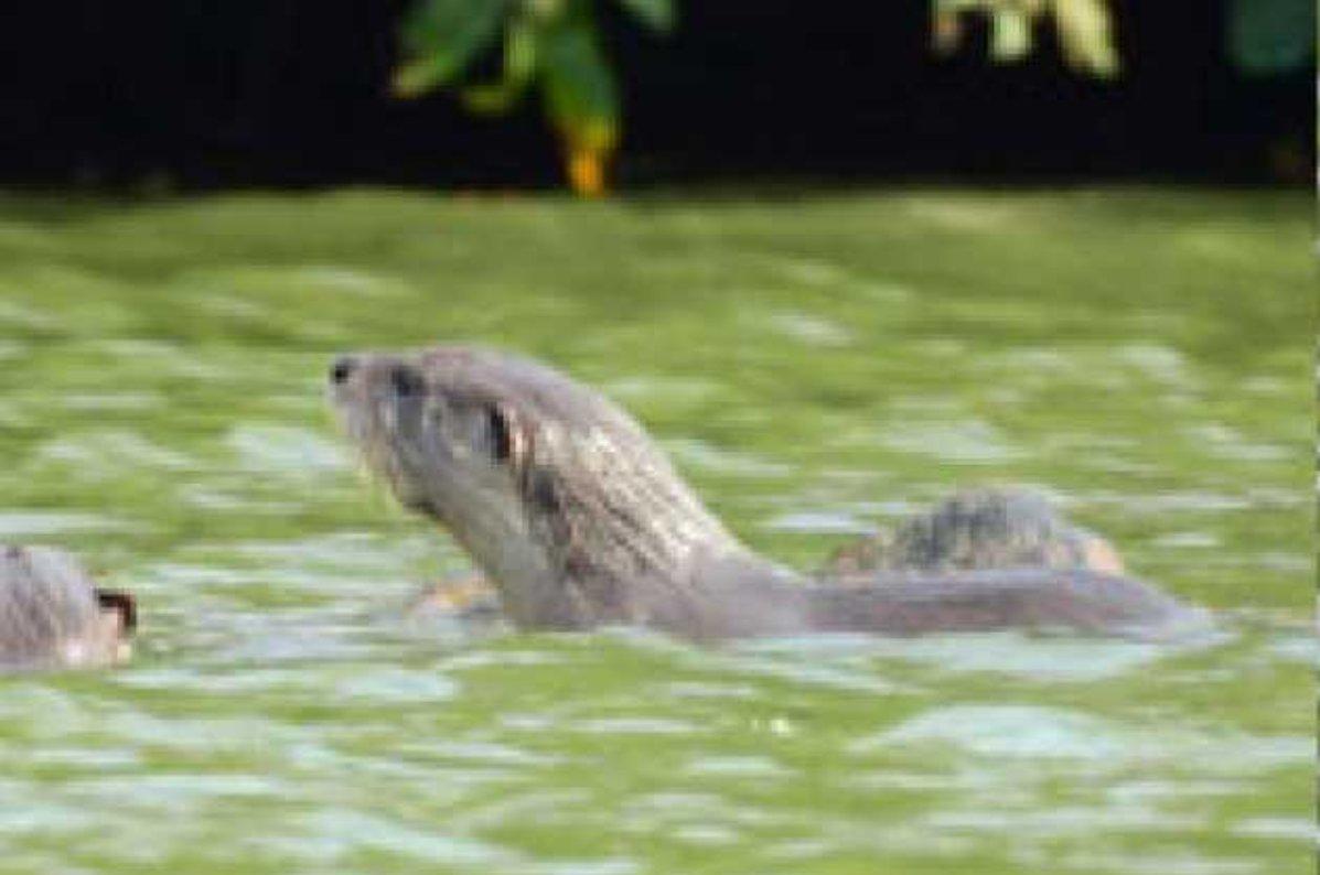 सावंतवाडीच्या मोती तलावातील पाणमांजर…..समज गैरसमज…