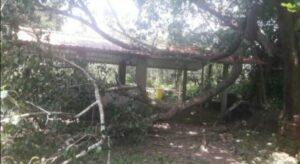 केणीवाडा राष्ट्रोळी मंदिरावर पिंपळाचे झाड कोसळले..