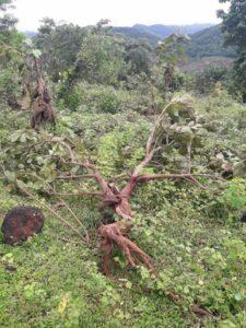 नावळे गावात गवा रेड्यांचा धुमाकूळ : काजू बागेसह नाचणी, भातशेतीचे मोठे नुकसान