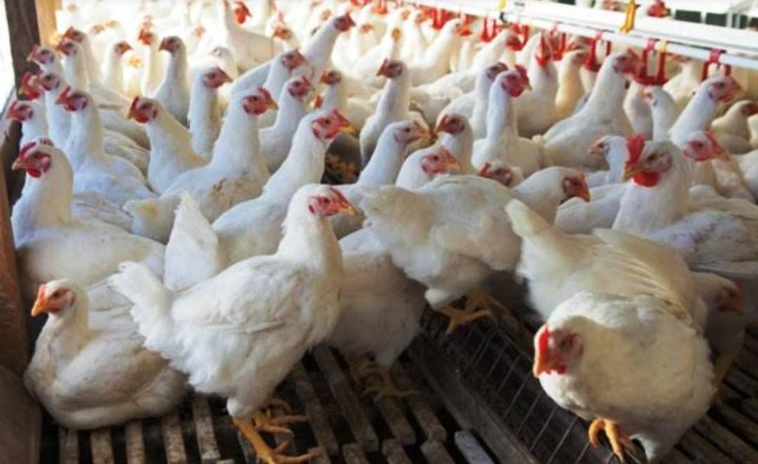बर्ड फ्लूदरम्यान अंडी आणि चिकन खाणे सुरक्षित आहे का?