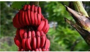 कर्करोग आणि हृदयविकाराच्या समस्यांपासून दूर ठेवण्यात प्रभावी लाल केळी जाणून घ्या फायदे