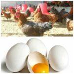 कोंबड्यांनी अंडे देणे बंद केल्यामुळे शेतकऱ्यांची पोलिसात तक्रार…