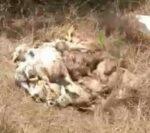 रस्त्याच्या बाजूला मेलेली हजारो बाॅयलर कोंबडी टाकली…