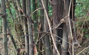 शेतकऱ्यांनी बोरबेट जातीच्या बांबूची लागवड करावी – लातूरचे बांबू व्यापारी वाघे यांचे आवाहन